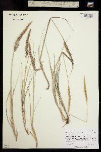Image of Calamagrostis purpurascens