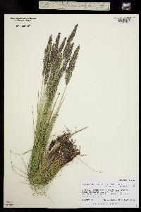 Image of Calamagrostis stricta