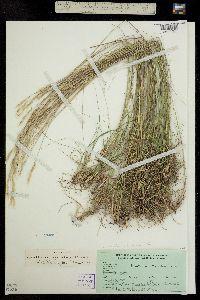 Image of Danthonia spicata