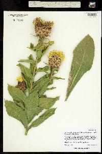 Image of Grossheimia macrocephala
