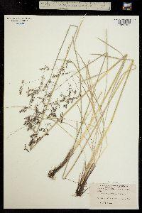 Image of Deschampsia cespitosa