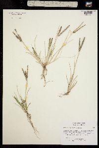 Image of Eleusine indica