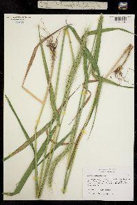 Image of Elymus canadensis
