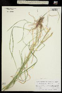 Elymus macounii image