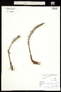 Hippuris vulgaris image