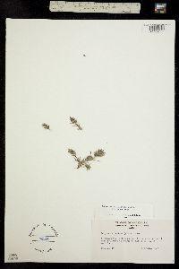 Image of Eragrostis lutescens