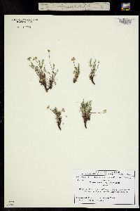 Oreoxis alpina image