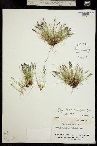Festuca minutiflora image