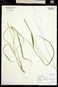 Image of Festuca subulata