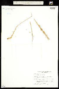 Triodanis leptocarpa image