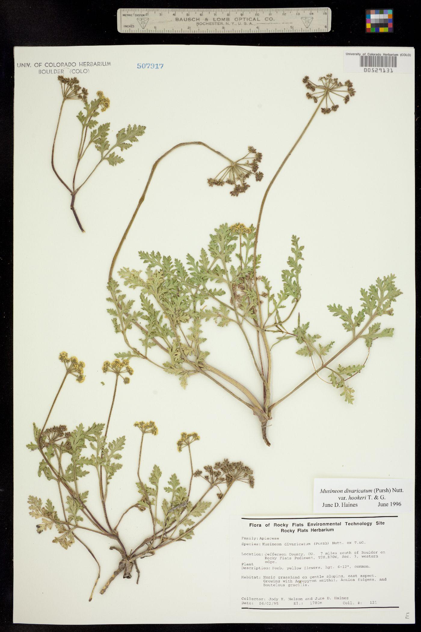 Musineon divaricatum var. hookeri image