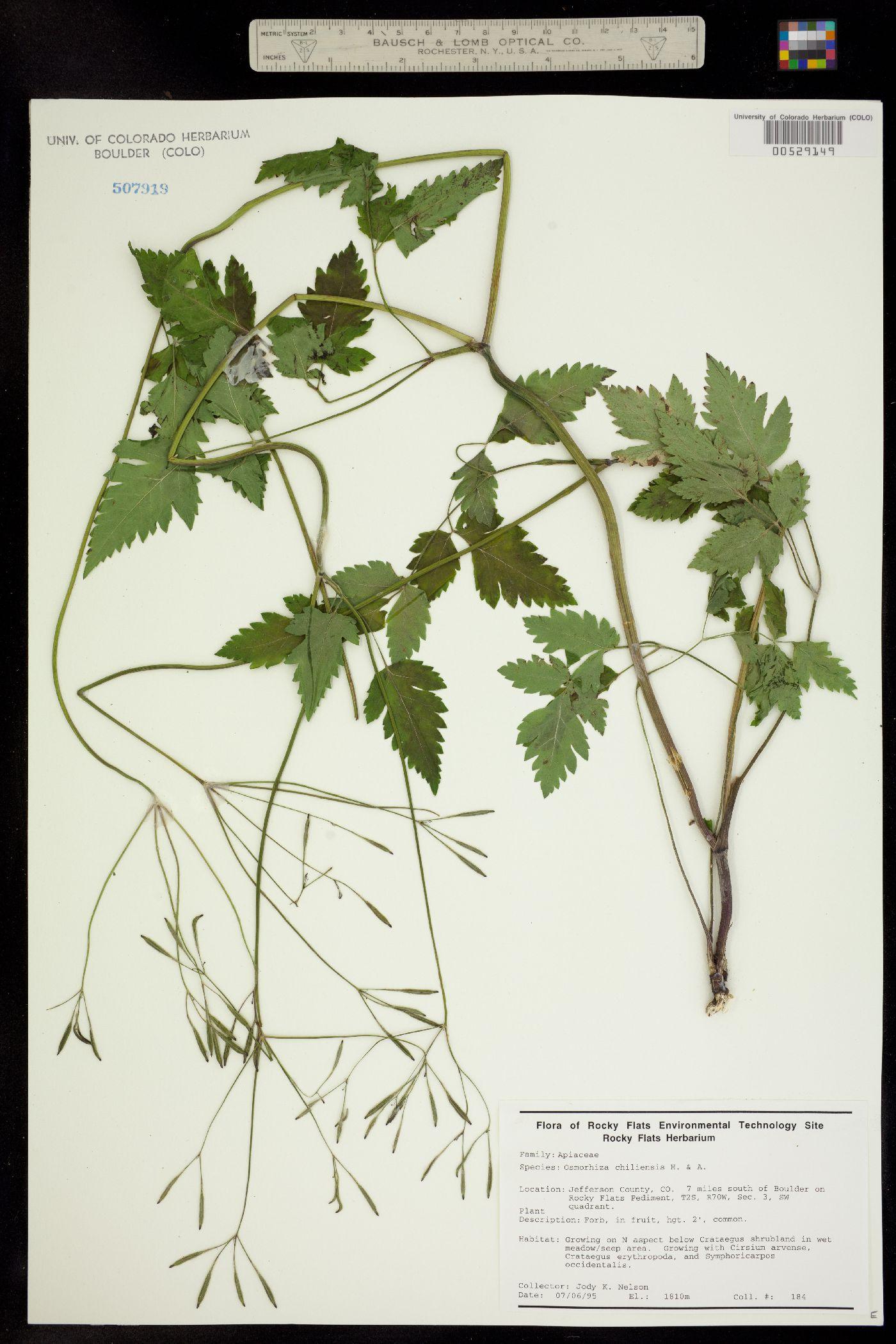 Osmorhiza image