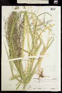 Image of Glyceria grandis