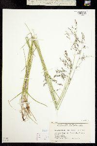 Image of Glyceria striata