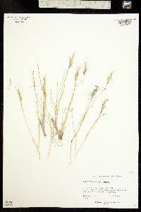 Image of Helictotrichon mortonianum