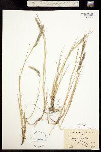 Muhlenbergia andina image