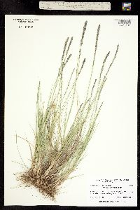 Muhlenbergia wrightii image