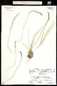 Triglochin debilis image
