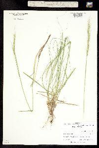 Nassella viridula image