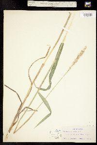 Phalaroides arundinacea image