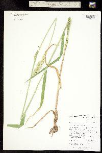 Phalaris arundinacea image