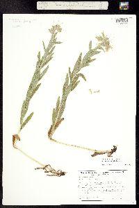 Onosmodium bejariense var. occidentale image