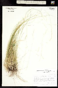Piptatherum micranthum image