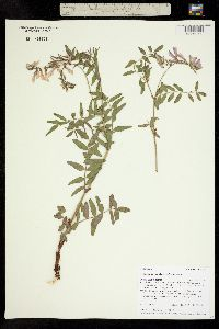 Image of Hedysarum occidentale