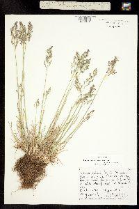 Poa pratensis subsp. pratensis image