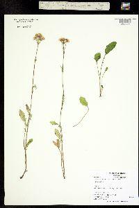 Image of Packera pauciflora