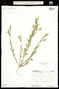Image of Conosilene conica