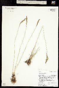 Poa cusickii ssp. pallida image