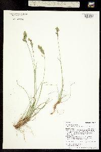 Poa cusickii ssp. epilis image