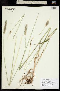 Image of Alopecurus arundinaceus