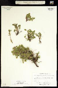 Salix nivalis image