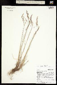 Poa glauca ssp. rupicola image