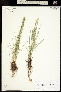 Poa glaucifolia image