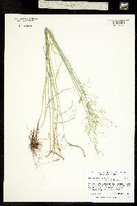 Poa nemoralis ssp. interior image
