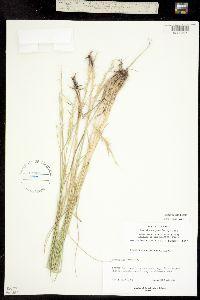 Pseudoroegneria spicata ssp. spicata image