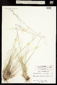Ptilagrostis porteri image