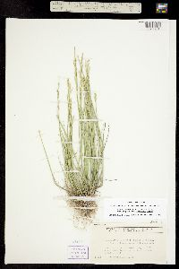 Puccinellia airoides image
