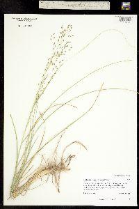 Redfieldia flexuosa image