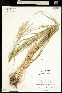 Thinopyrum intermedium ssp. barbulatum image