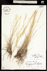 Tridens muticus var. elongatus image