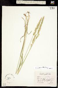 Trisetum spicatum ssp. alaskanum image