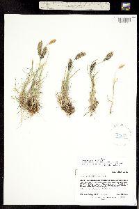 Trisetum spicatum ssp. congdonii image