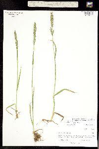 Image of Trisetum brandegei