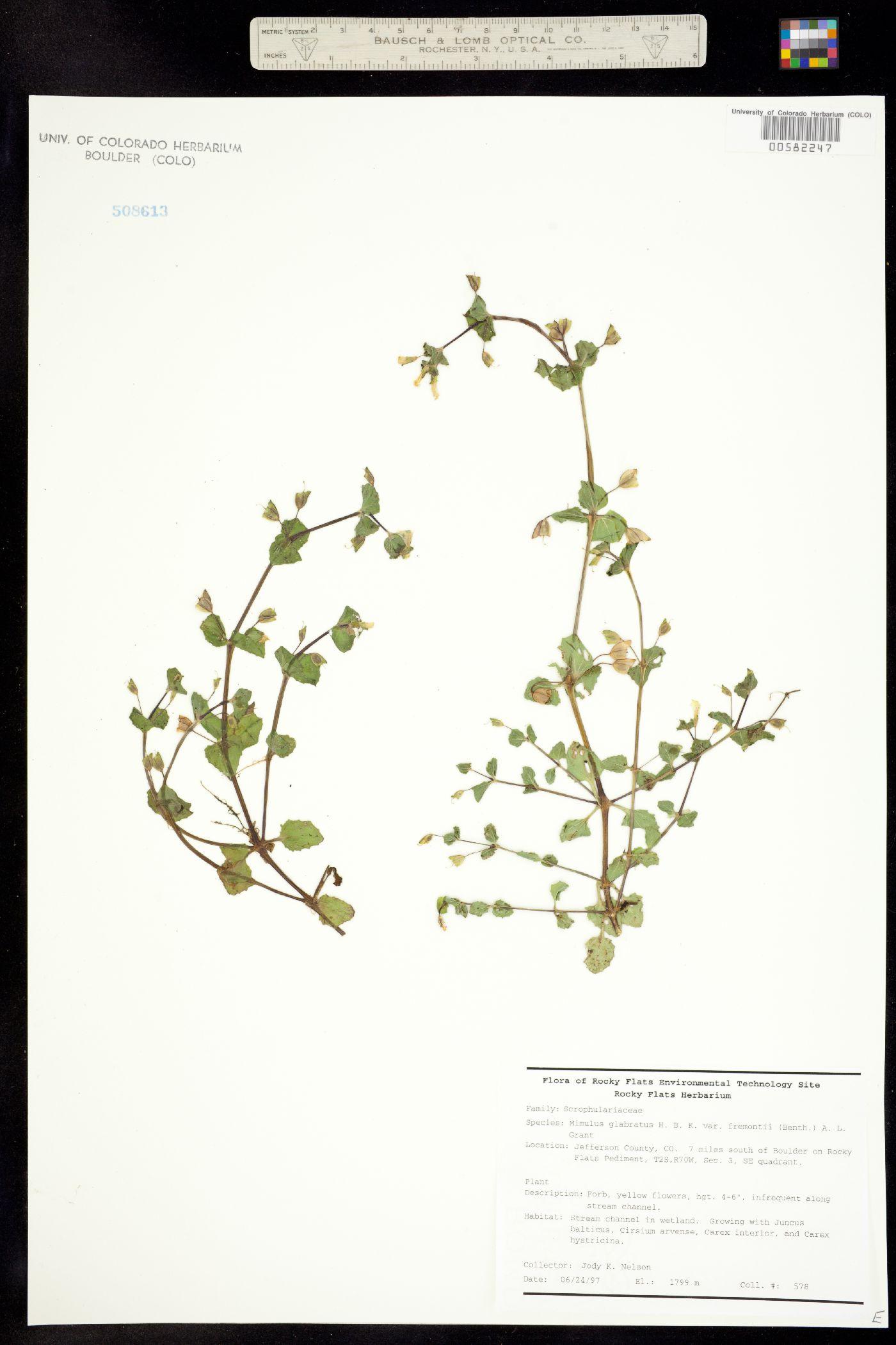 Mimulus glabratus var. fremontii image