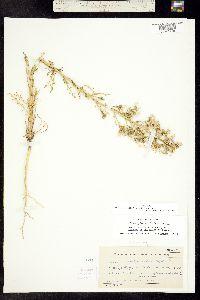 Aliciella pinnatifida image