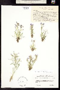 Aliciella pentstemonoides image